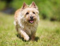 Westland terrier dog Royalty Free Stock Image