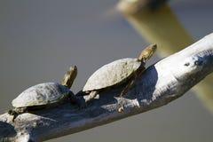 Westliche gemalte Schildkröte, Chrysemys picta Stockfoto