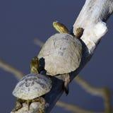 Westliche gemalte Schildkröte, Chrysemys picta Lizenzfreie Stockfotografie