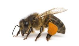 Westliche Honigbiene oder europäische Honigbiene, API Lizenzfreies Stockbild