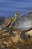 Westliche Zierschildkröten Lizenzfreie Stockbilder