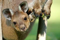 Westlicher grauer Känguru lizenzfreie stockfotos