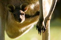 Westlicher grauer Känguru Stockbilder