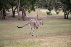 Westlicher grauer Känguru Stockfoto