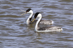 Westlicher Grebe (Aechmophorus occidentalis) Lizenzfreie Stockbilder
