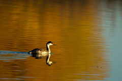 Westlicher Grebe, Aechmophorus occidentalis Stockfotos