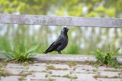 Westlicher jackday gemeiner europäischer dunkler Vogel, einzelnes Tier im Grün stockfotos