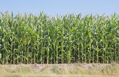 Westlicher kanadischer Mais Lizenzfreie Stockfotos