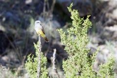 Westlicher Kingbird, Tyrannus verticalis Lizenzfreie Stockfotografie