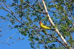 Westlicher Tanager im Baum Stockbilder