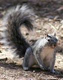Westliches Grau-Eichhörnchen stockbilder