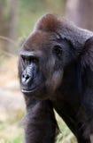Westliches Tiefland-Gorilla Lizenzfreie Stockbilder