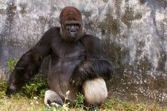Westliches Tiefland-Gorilla Lizenzfreies Stockfoto