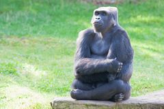 Westliches Tiefland-Gorilla Lizenzfreies Stockbild