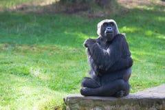 Westliches Tiefland-Gorilla Stockbild
