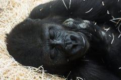 Westliches Tiefland-Gorilla (Gorillagorillagorilla) Lizenzfreie Stockfotos