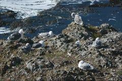 Westmöwen an Depoe-Bucht Stockfoto