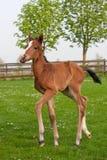 Westphalian foal Royalty Free Stock Photo