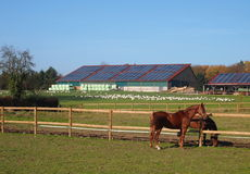 Westphalian horses in front of farm Stock Photos