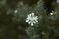 Westringia fruticosa开花 免版税库存图片