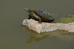 Westrn painted turtle. Western painted Turtle (Chrysemys picta) sunbathing on rock with reflection in lake Stock Images