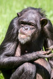 Westschimpanse, der Gras isst lizenzfreies stockbild
