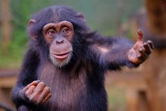Westschimpanse im Sierra Leone lizenzfreie stockbilder