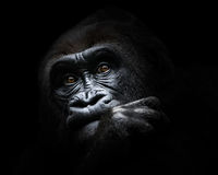 Westtiefland-Gorilla III Lizenzfreies Stockfoto