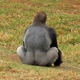 Westtiefland-Gorilla - Silverback Lizenzfreie Stockfotos