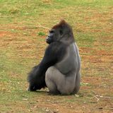 Westtiefland-Gorilla - Silverback Lizenzfreie Stockfotografie