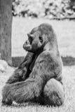 Westtiefland Gorilla Sitting im Gras auf Sunny Day B&W Stockbild