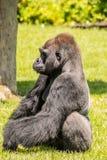 Westtiefland Gorilla Sitting im Gras und Schauen in den Abstand Lizenzfreies Stockbild