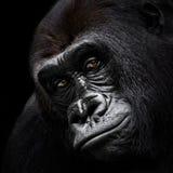 Westtiefland-Gorilla VI Lizenzfreies Stockfoto