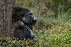 Westtiefland-Gorilla XI lizenzfreie stockfotografie