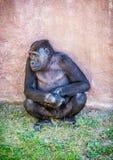 Westtieflandgorilla wirft auf Stockfotos