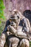 Westtieflandgorilla wirft auf Lizenzfreies Stockfoto