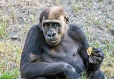 Westtieflandgorilla wirft auf Stockfotografie