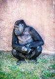 Westtieflandgorilla wirft auf Lizenzfreie Stockbilder