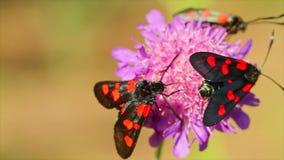 Westwoodii Elcysma πεταλούδων, σε ένα λουλούδι απόθεμα βίντεο