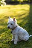 Westy dog. West Highland Terrier captures the last minutes of sunshine Stock Images