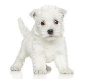 Westy puppy Royalty Free Stock Images