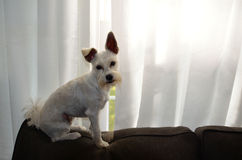 Westy terrier schnauser pet dog. Westy terrier schnauzer pet dog. Sitting on a couch with one ear dipping stock images