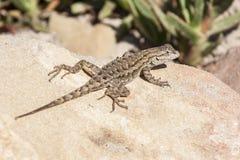 Westzaun Lizard Sunbathing Lizenzfreies Stockfoto