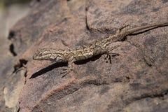 Westzaun Lizard Sunbathing Stockfoto