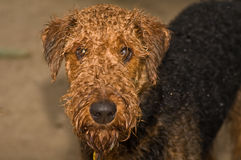 Wet airedale terrier dog outside. A wet airedale terrier dog, with water dripping from his beard, stands outside waiting to come in stock photos