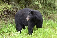 Wet American black bear Royalty Free Stock Image