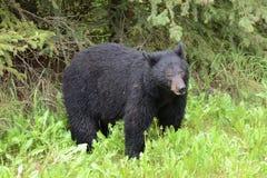 Wet American black bear Stock Photo