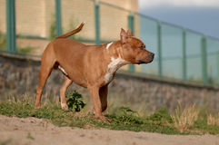 Wet American Staffordshire Terrier outdoor Royalty Free Stock Photo