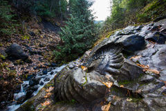 Wet Ammonite Fossil in the rainy forest. Fossil found in the sub alpine area in Fernie British Columbia. Ammonite fossil stock photo