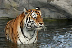 Wet Amur Tiger Stock Photos